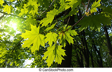 Branches with fresh green leaves of maple tree