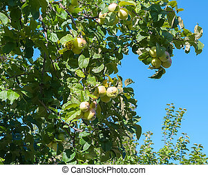 Branches with green apples against the blue sky.