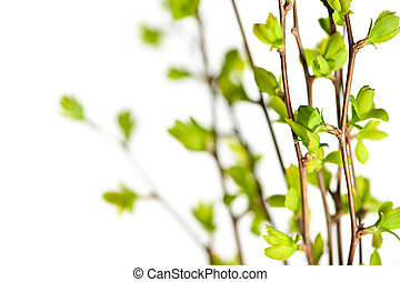 Branches with green spring leaves - Branches with young...
