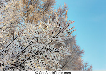 branches with hoarfrost in winter