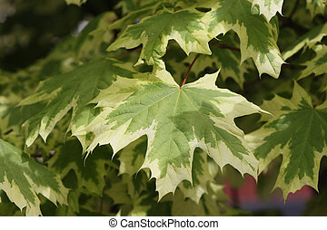 Branches with maple leaves.