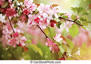 Branches with pale pink flowers of apple tree