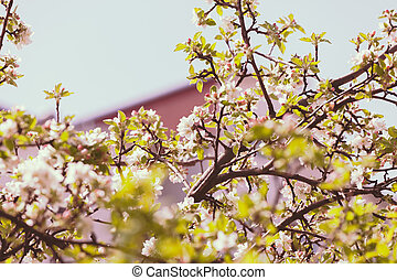 branches with pear blossoms