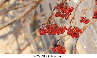 Branches with red viburnum on the background of group of...