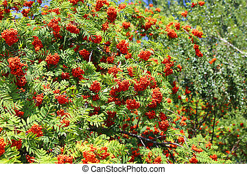 Branches with ripe bright fruits of mountain ash