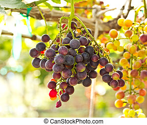 Branches with ripe red grapes