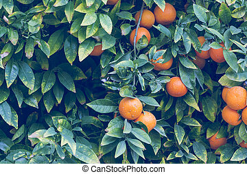Branches with the fruits of the orange trees