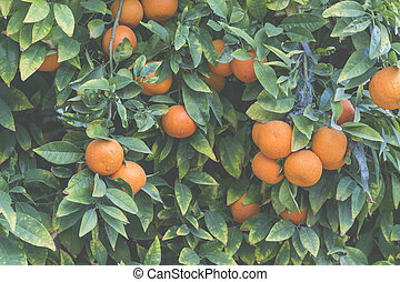 Branches with the fruits of the tangerine trees
