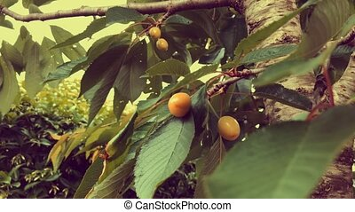 Branches With Unripe Cherries - Branches with unripe...