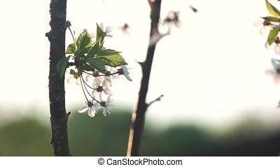 Branches with white flowers on blurred background. Spring...