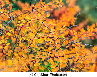 Branches with yellow leaves of a prickly bush in the fall.