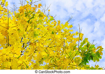 Branches with Yellow Maple Leaves