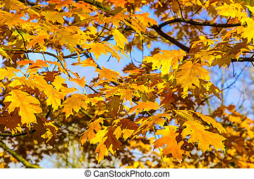 Branches with Yellow Oak Leaves