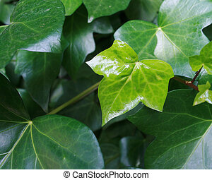 Brand New Leaf on Vibrant Green English Ivy Vines