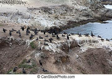 Brandt's cormorant wild birds. Pacific coast. - Brandt's...