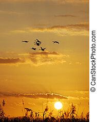 brants, pôr do sol, cana, amarela, outono