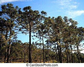 brasil, árbol, pino,  Parana