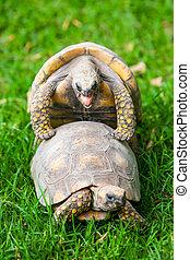 brasileiro, tartaruga gigante