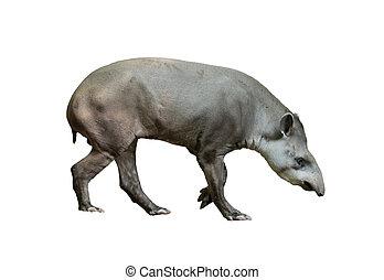 brasiliansk, tapir, isolerat