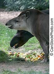 brasiliansk, tapir