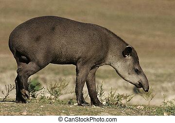 brasiliansk, tapir, tapirus, terrestris