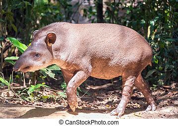 brasiliansk, tapir, vandrande