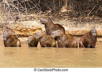 brasilien, pantanal, capybara, herde