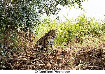 brasilien, pantanal, jaguar