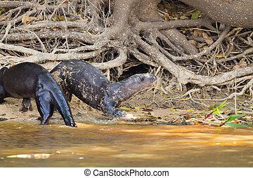 brasilien, riesig, pantanal, otter