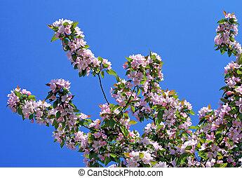 braspringtime, árbol, en el flor, con, un, cielo azul, en,...