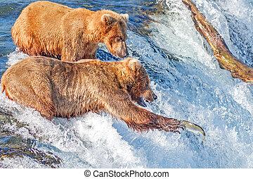 braunbär, schwierig, zu, ertappen, springende , lachs, an, bäche, fällt, katmai nationalpark, alaska