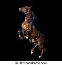 brauner, andalusian, pferd, freigestellt, auf, schwarz