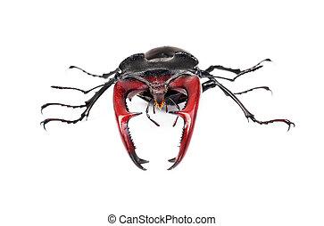 brauner, käfer, freigestellt, rehbock, lucanus, cervus, größten, weißes, europäische
