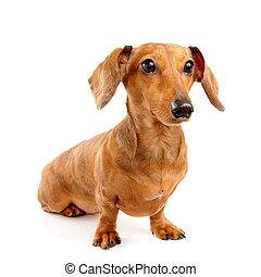 brauner, kurzes haar, dachshund hund
