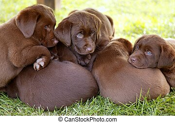 brauner, labrador, junge hunde, hund, abfall, apportierhund