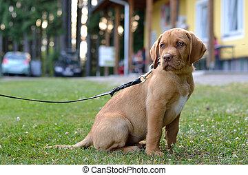 brauner Labrador-Welpe - brown labrador puppy