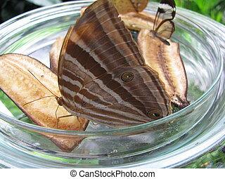 brauner Schmetterling, brown butterfly