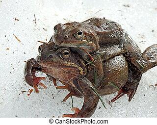 brauner, temporaria), zwei, frosch, schnee, gemeinsam,...
