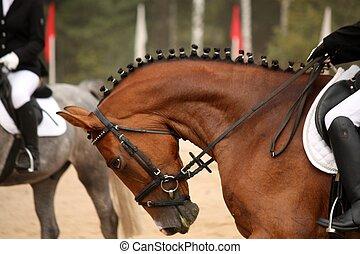 braunes pferd, dressage, porträt, pr�fung, während, sport