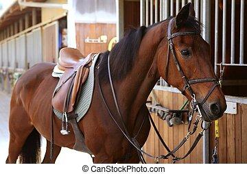 braunes pferd, mit, pferdesattel, und, zügel