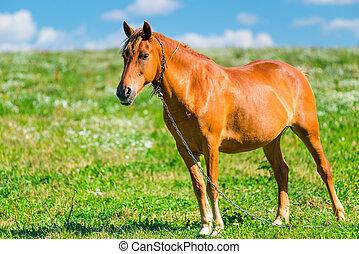 braunes pferd, sonniger tag, weide
