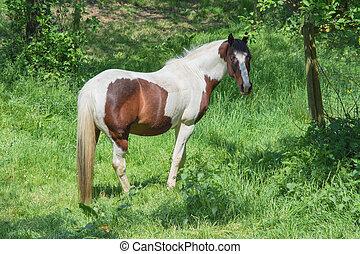 braunes pferd, weißes, weide