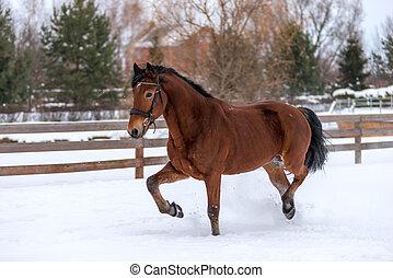 braunes pferd, winter, gehen, junger, feld, tag