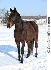 braunes pferd, winter, prächtig