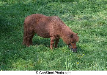 braunes pony, weide