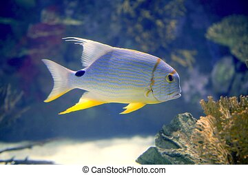 brautiful, pez, amarillo, tropical, mar, aleta, rojo