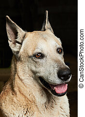 brave shepherd dog