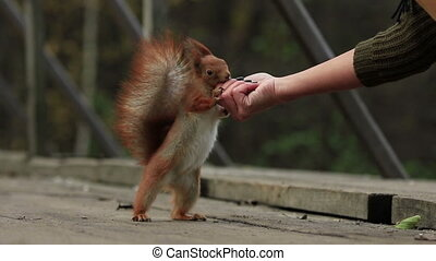 Brave ginger squirrel stands on hind legs and get the walnut from woman's hand and than runs away (1080p, 25fps)