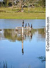 (brazil), vögel, zaun, pantanal