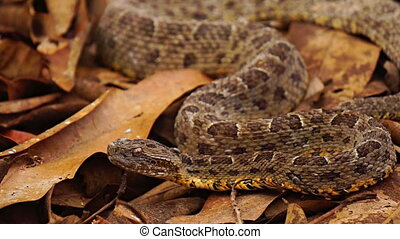 Brazilian Jararaca highly dangerous snake with ticks closeup, slow motion